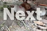 rabbits for pet or meat