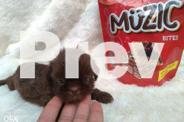 Shih tzu choco liver overload 23puppies available by