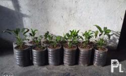 Peace Lilly set of 10pcs only for P1000 with container
