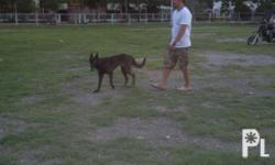 young adult female dutch shepherd with pcci paper,