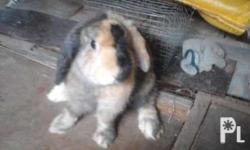 Cute Rabbit for sale, 4-6 weeks old, nz rabbit. Best