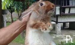 2 male rabbits for sale, 7 months old, ready to stud