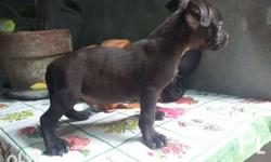 Male pup 2 months old Updated vaccines and deworm Sire