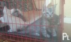 2mos old mixed breed Persian Siamese blue eyed