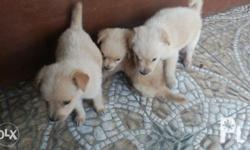 Golden Retriever X Aspin For Sale In Mabalacat Central Luzon
