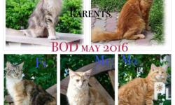 4th Batch: Imported Maine Coon Price: 70,000