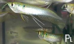 Very healthy and Aggressive eaters! More fishes at