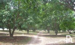 7.4 Hectares Mango Farm w/ Brandnew Resthouse in