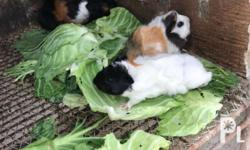 abbyssinian cavvy* --guinea pig with curly hair *fed