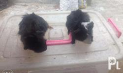 Abysinian Guinea Pig pair 600 Sta. Rosa / cabuyao area