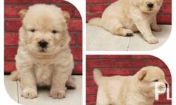 Quality Chow chow puppies open for reservation Male &