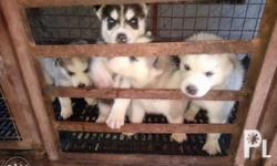 1 Female 3 Males Note: Only 1 Male Left for sale
