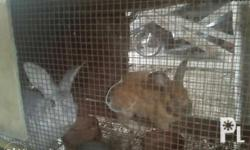Adult rabbits for sale: (Available): - 1 female (white