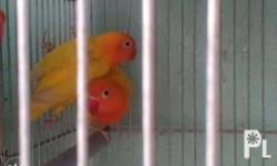 African Love birds.. Un gender 3months and up Many