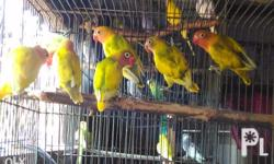 For sale or swap sa silkie chicken, or sa any quail...