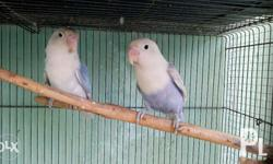 african lovebird Eyering pair Negotiable Txt or call