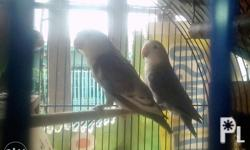 For sale pair African lovebird Color ash grey Ash blue