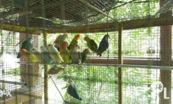selling my birds in affordable price ready to breed