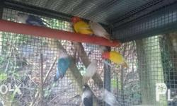 African Lovebirds for sale. Prize starts at 500