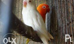 FOR SALE: Mauve Persopied (hen) - 1k Php Blue Persopied
