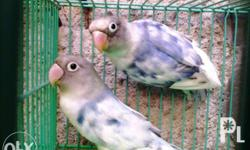 African lovebirds Eyering proven pair You can visit my