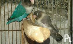 For Sale: African Lovebirds (Eyering) Price: 1,400