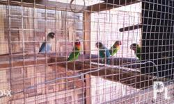 African white eye ring (2 pairs)and peach face(5 pairs)