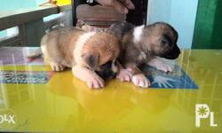Akita Puppies 4 Male - 10k ea 1 Female - 13k ea NO