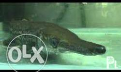 Alligator Gar Fish , 26 inch long , for big aquarium ,
