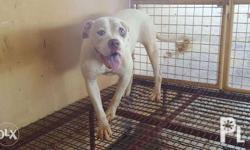 Female American Bulldog Young Adult Never Been Bred