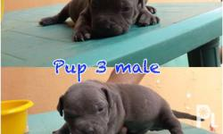 FS: american bully Call/text 09975792959 2 male puppy 3