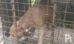 American bully pure no paper proven for stud malakas
