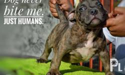 American bully puppy to be UKC 4x deworm 1x parvo