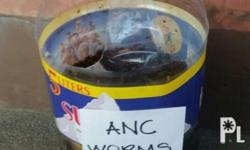 African nightcrawlers are large voracious earthworms