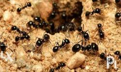Some ant species, can be controlled using baits, while