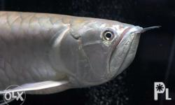 Silver Arowana 18- 20 inches guesstimate Pick Only at