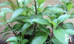 Ashitaba plant is a sought after since it is referred