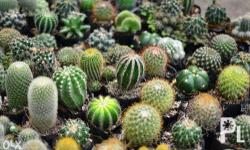 Select from a wide range of cactus plants, pot options
