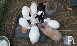 Very healthy rabbits 10 months old-700 4 months
