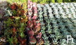 Assorted succulents in nursery bags. Avail of our