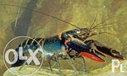 For sale red claw lobster breeder.1 male + 2