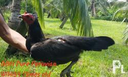 For sale authentic peruvian f1 of my imported peruvian