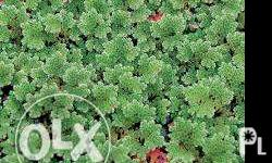 high protien azolla and duckweeds plant for your