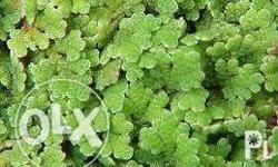 Azolla is a native water plant with some seriously