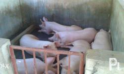 S> Piglets and Fatteners - Pick up only. Balayan,