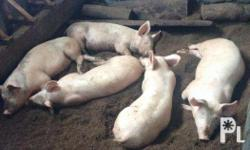 Pigs/Baboy For Sale Breed: Large White Weight: 50kgs