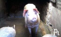 Semi organic pigs, feed on vegetables , azolla and