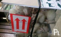Sprague Dawley rats for sale Wistar rats for sale Swiss