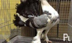 Bawas alaga sale: All breeds of fancy pigeon at rock
