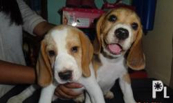Beagle puppies ready for rehoming! DOB: 3/12/14 **all